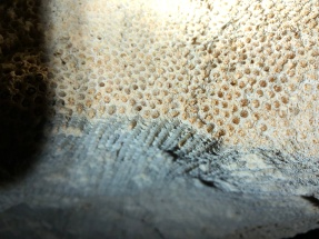 A fossil of a coral embedded in the cave ceiling.